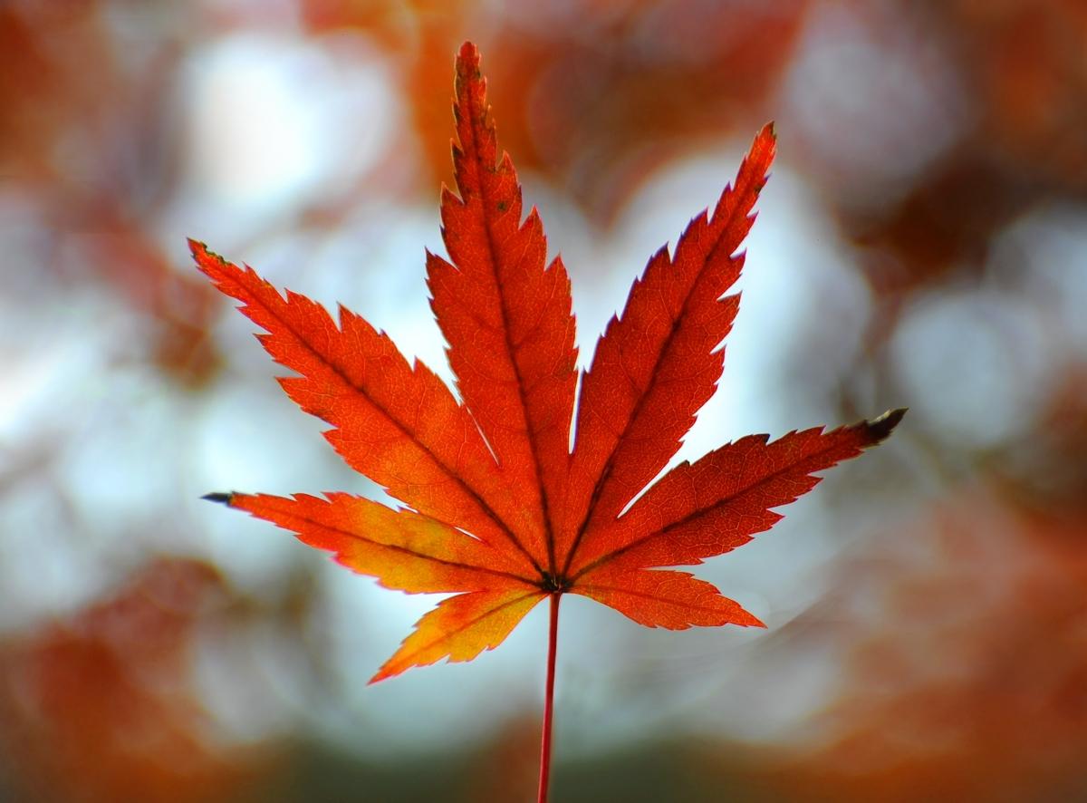 An Autumn Leaves