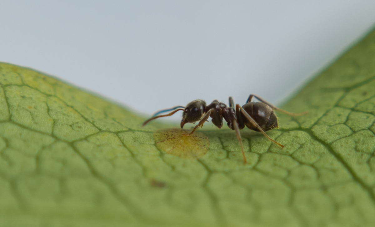 Ant guards a scale insect on a Fatsia japonica plant