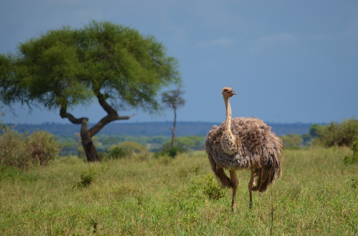 Stoic Ostrich