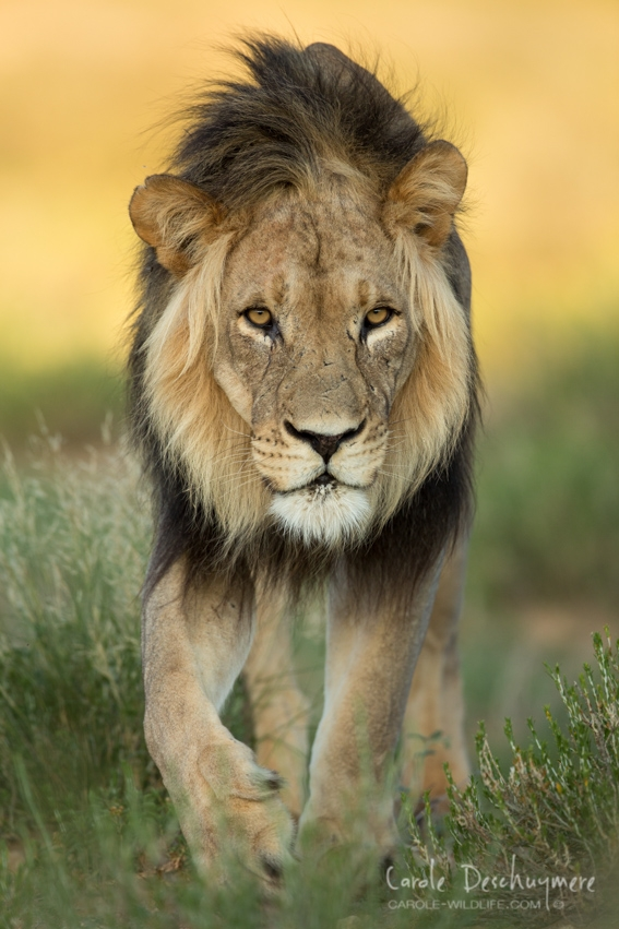 'The King' by Carole Deschuymere