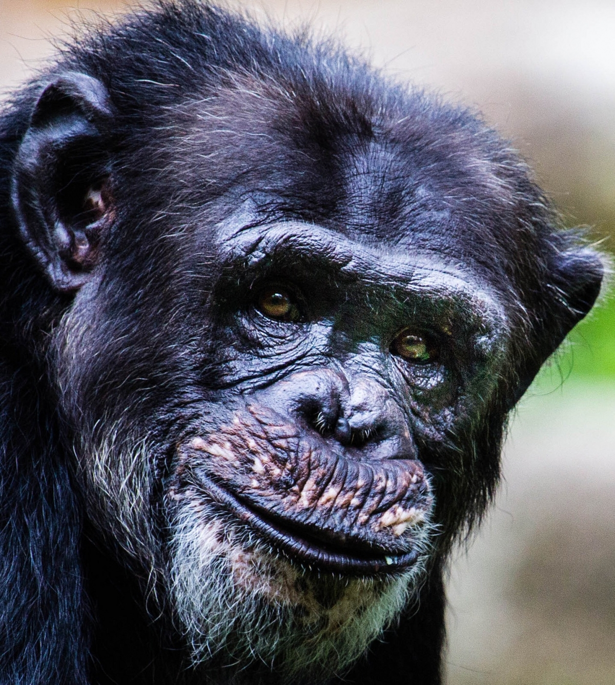 Chimp Portrait