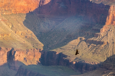 Eagle in the Grand Canyon
