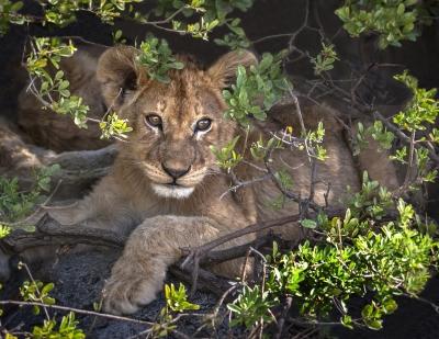 Serengeti Lion Cub