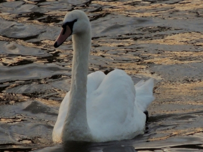 Swan on a golden river