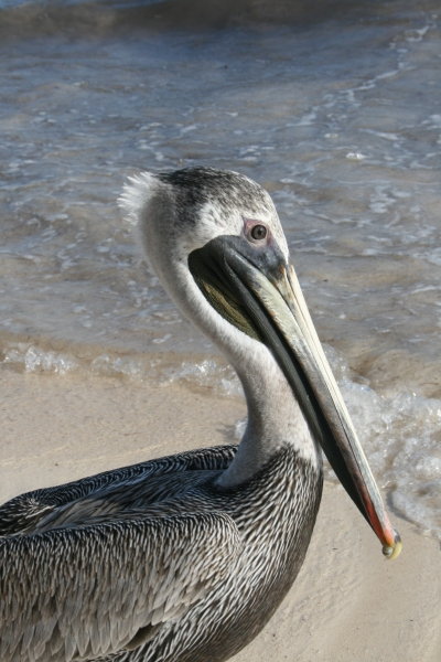 Cancun pelican