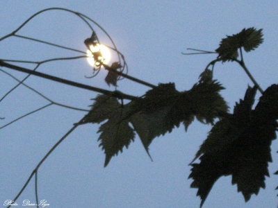 Moonrise and  Branch of Grapes. 11.0.'14. ; )