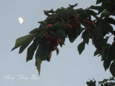 Moon and Branches of Cherry. 07.06.'14. ; )