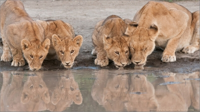 Lion family on water's edge