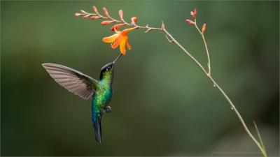 Fiery throated hummingbirds in flight