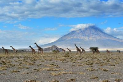 Giraffes at lake Natron