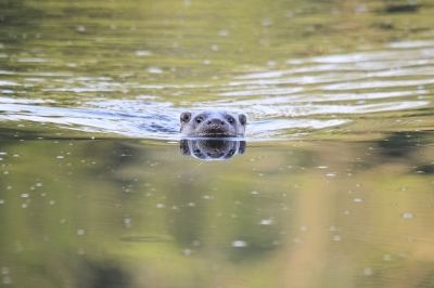 Incoming Otter