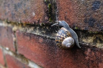 Ordinary British snail