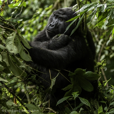 Gorilla Lady peacefully eating in a tree