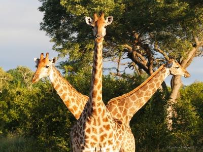 Hydra-Giraffe