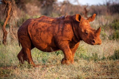 Red Rhino in sunset with backpacker