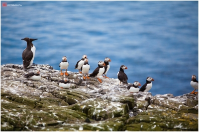 Wild Puffins in Farne Island