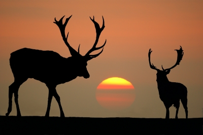 Sunset stags