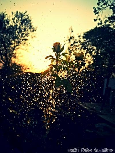 Grow the perfect rose - Sunset