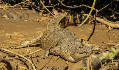 Nile Crocidile (Crocodylus niloticus)