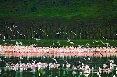 The wings of Nakuru