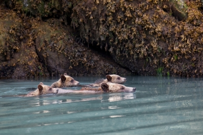 Wild grizzly family swimming, BC