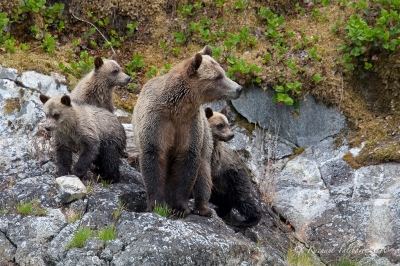 Wild grizzly family, Glendale Cove