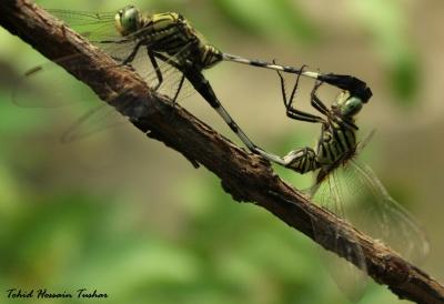 Dragonfly mating :)