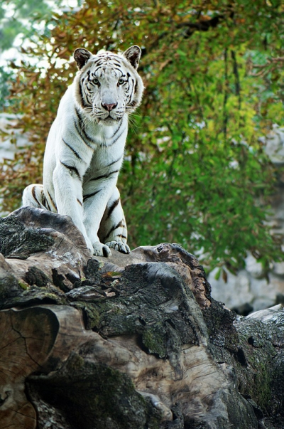 The Land of White Tigers