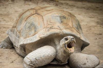 Yawning Tortoise