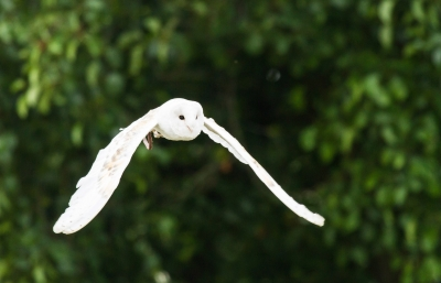 White Owl Stretching it's wings