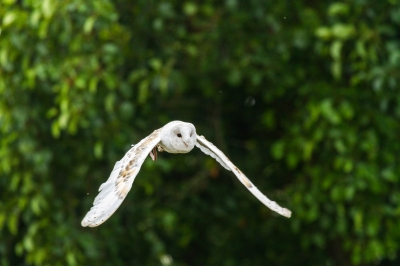 A Barn Owl stretching it's wings