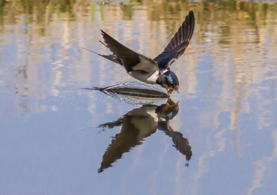 Swallow taking a drink on the wing