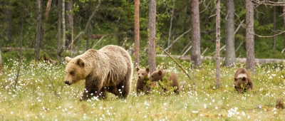 Mother and Cubs Proceed