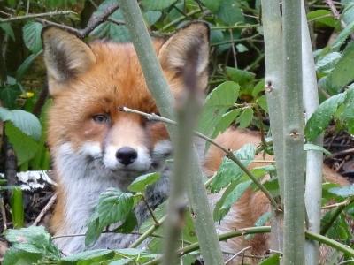 Shinfield Fox