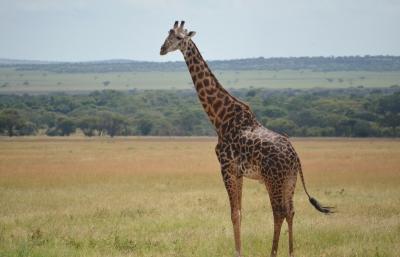 Giraffe in the Plains