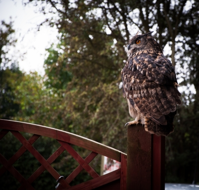 As the Owl sits