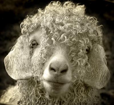 Endearing Sheep