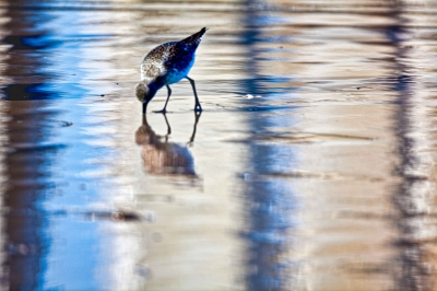 Busy Willet