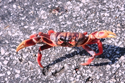 A Frightened Cuban Land Crab Crossing the Road