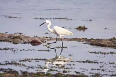 An Egret offshore (Morocco)