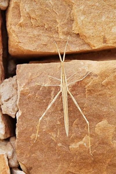 Walking Stick in the Mauretanian Desert