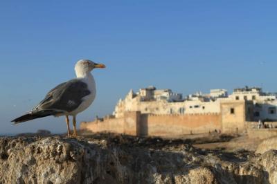A sea gull on the Scala of Essaouira (Morocco)