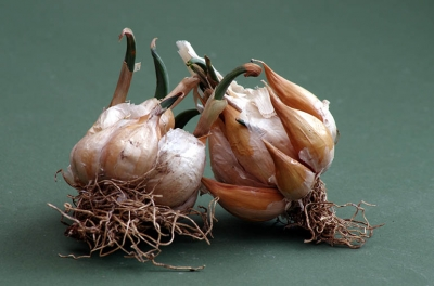 Sprouting garlic - about to be thrown away!