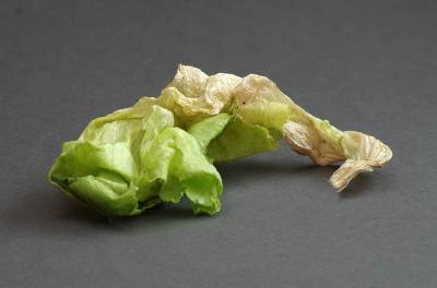 Limp but edible lettuce