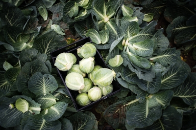 Cabbages saved from being wasted by gleaners