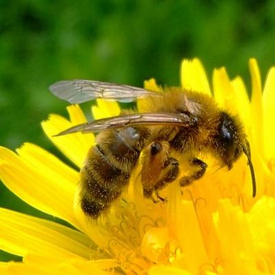 Dandelion and the Honeybee
