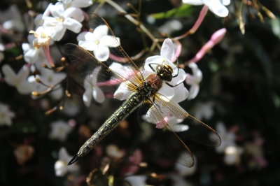 Dragonfly and Jasmine