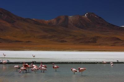 Bolivian Flamingos